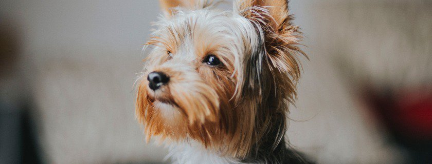 much food required to feed your Yorkie dogs - guidelines and options