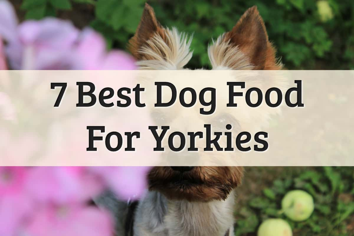 best Yorkie dog food - feature image