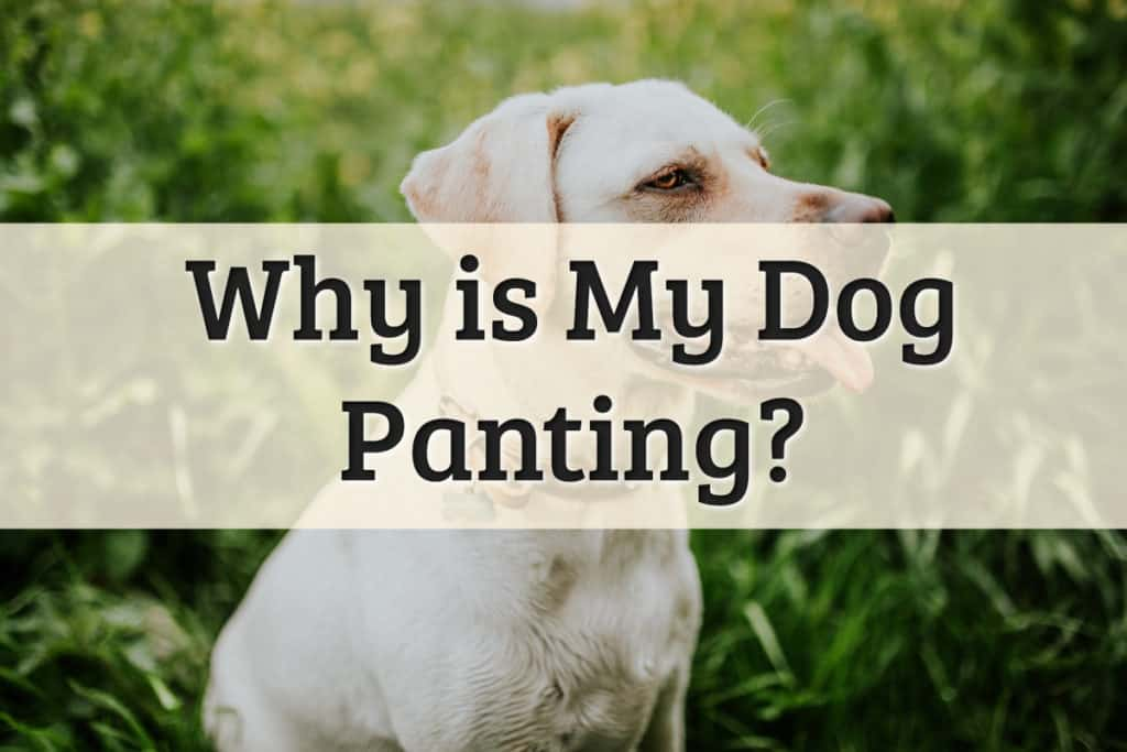 Why Is My Dog Panting Feature Image