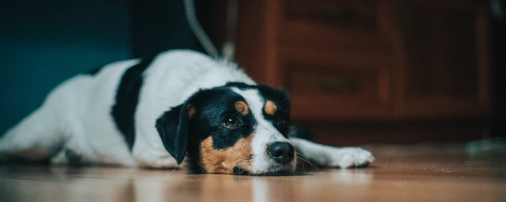 Why Honey is Good for Dogs