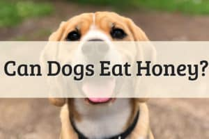 Can Dogs Eat Honey Feature Image