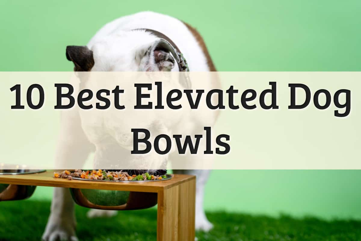 The Best Elevated Dog Bowls Feature Image