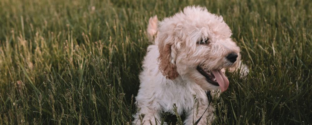 Pet Dog May Be Tired or Thirsty If Panting