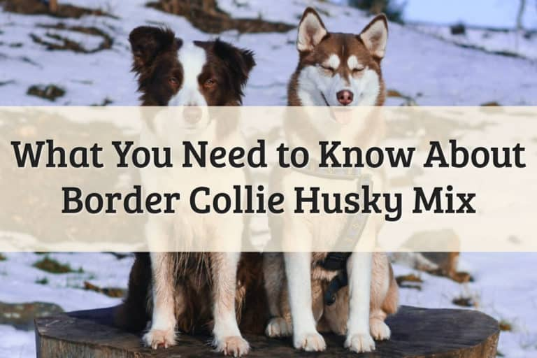 Mix Between Border Collie and Husky Feature Image