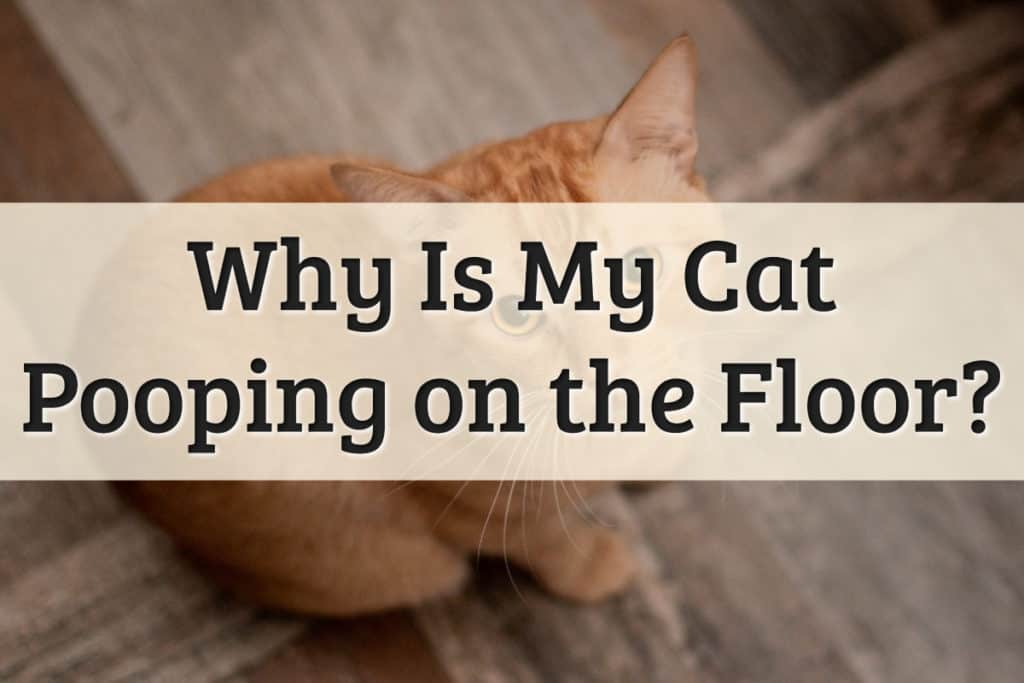 Why is My Cat Pooping on the Floor Feature Image