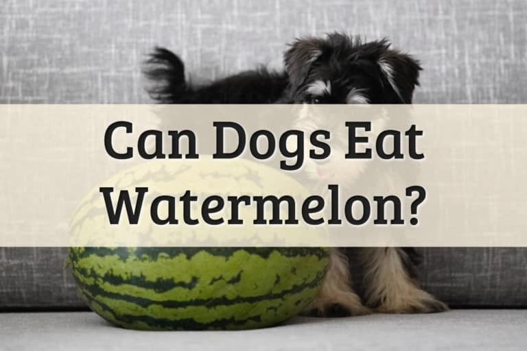 Can Dogs Eat Watermelon Feature Image