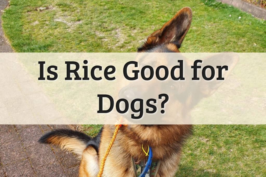 Can Dog Eat Rice Feature Image