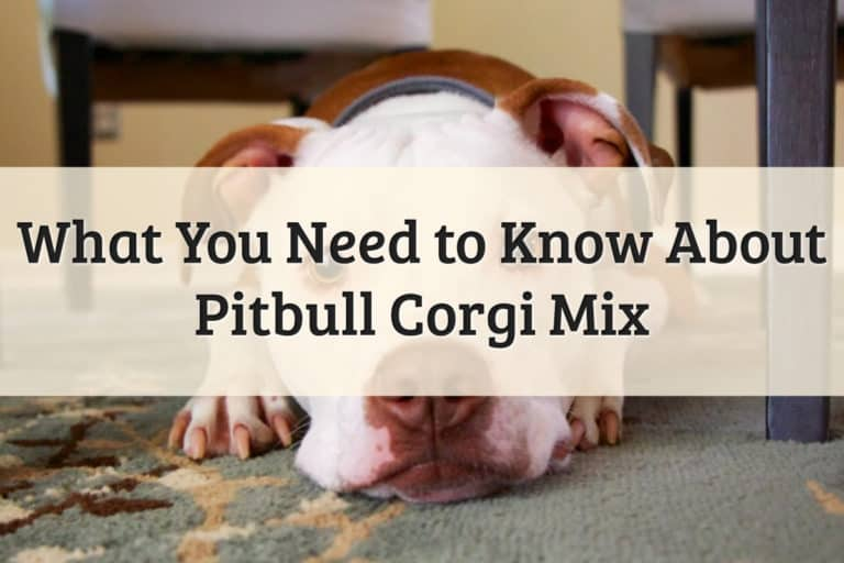 Pitbull Corgi Mix Feature Image