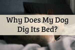 Why Do Dogs Dig at Their Beds Feature Image