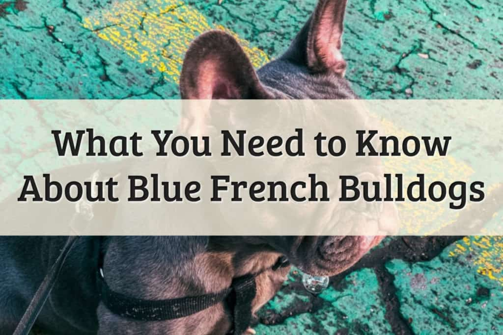 French Bulldog Blue Feature Image
