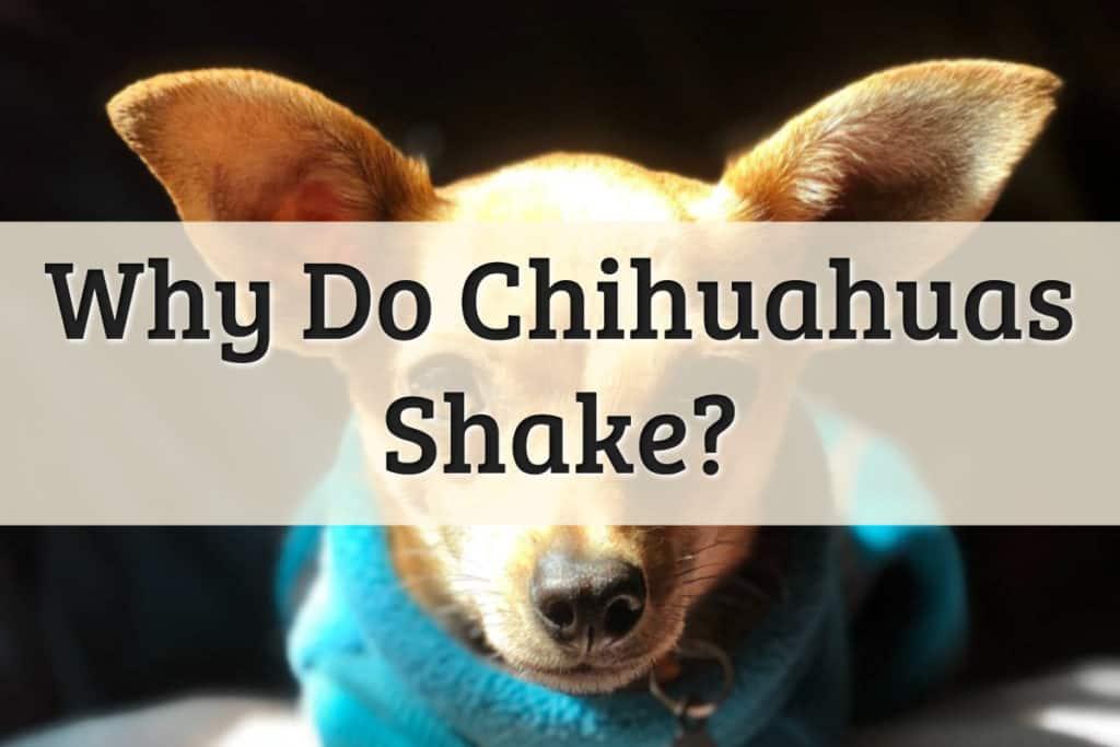 Why Do Chihuahua Shake Feature Image