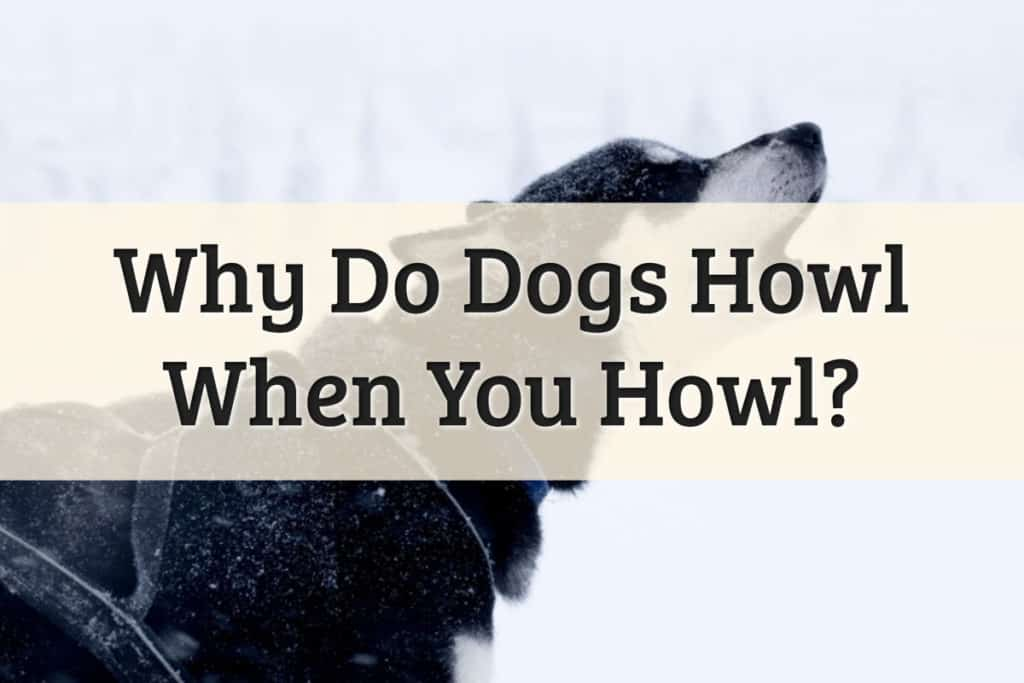 Why Do Dogs Howl Feature Image