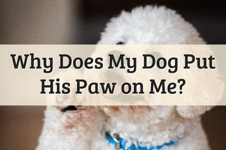 Why Does My Dog Put His Paw On Me Feature Image