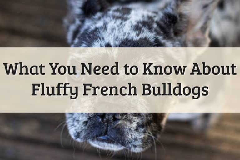 Fluffy Frenchie Feature Image