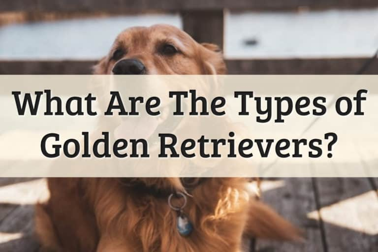 Types of Golden Retrievers Feature Image