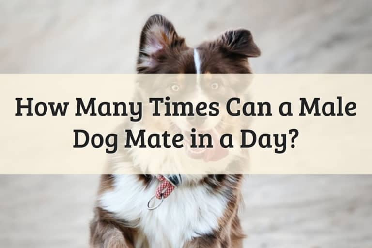 How Many Times Can A Male Dog Mate in a Day Feature Image