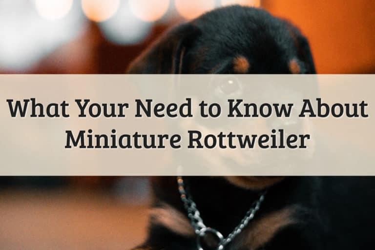 Minitaure Rottweiler Feature Image