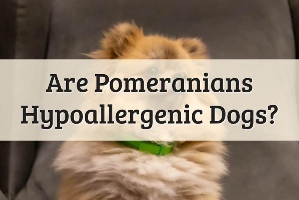 Pomeranians Feature Image