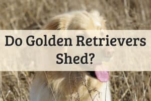 Golden Retrievers Shed Feature Image