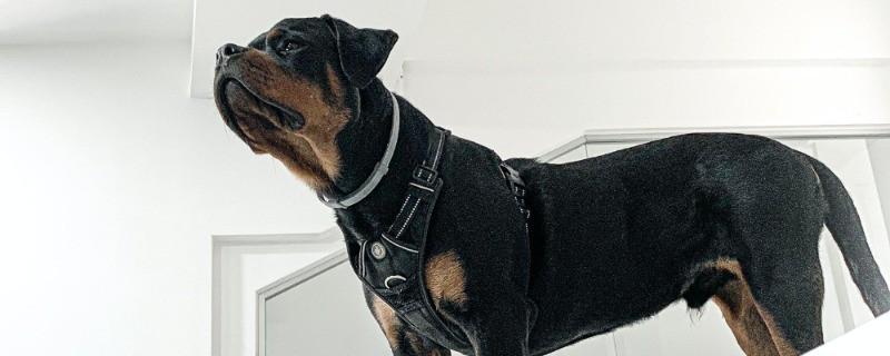 Breeds to Make a Mini Rottweiler