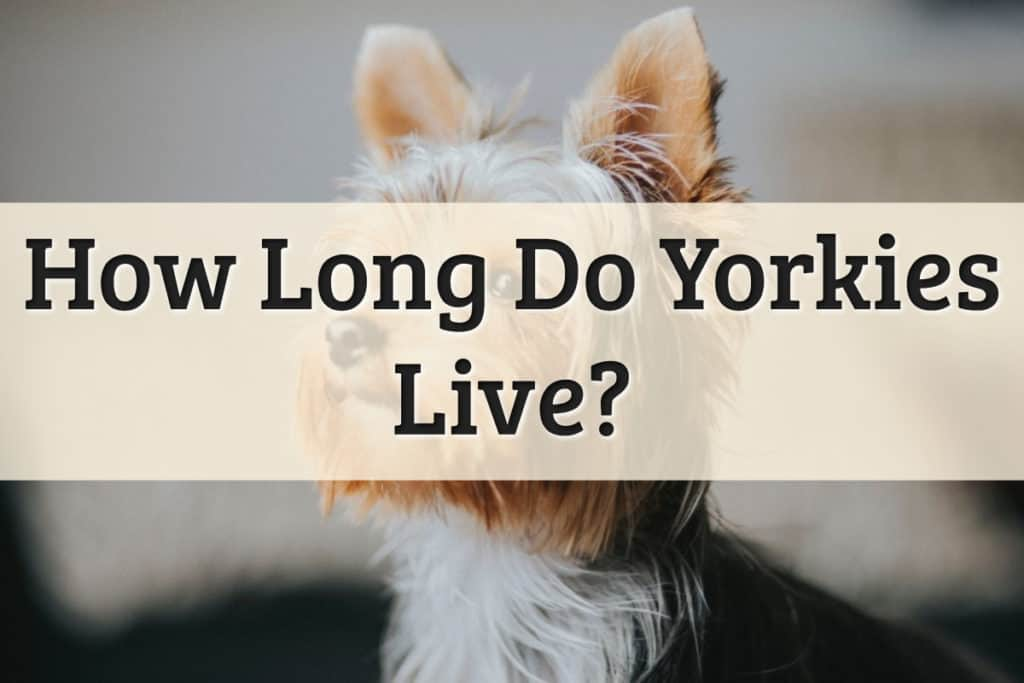 How Long Yorkies Live Feature Image