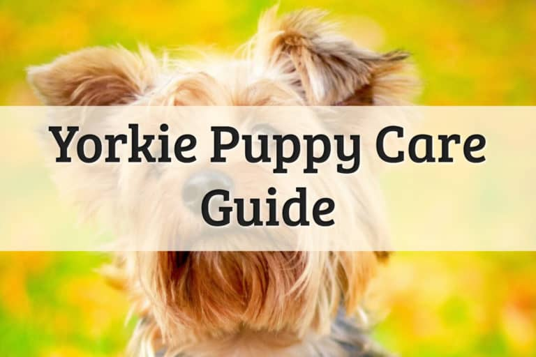 Yorkie Pup Care Guide Feature Image