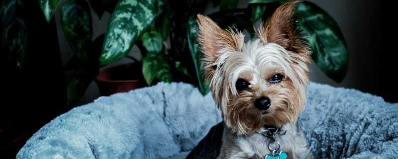 How Long Yorkies Usually Live