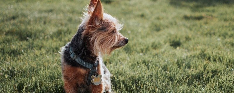 Life Expectancy for Yorkshire Terriers