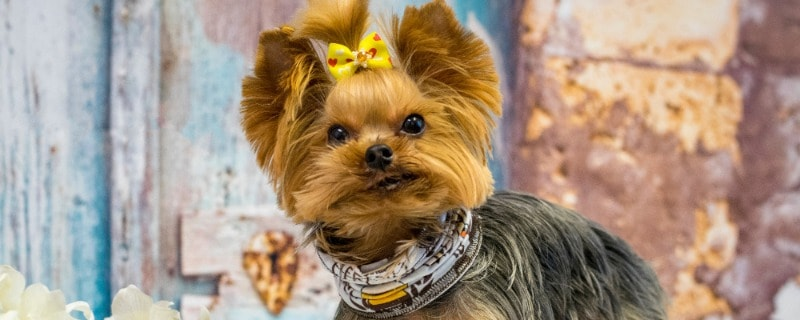 Life Span of Yorkshire Terriers