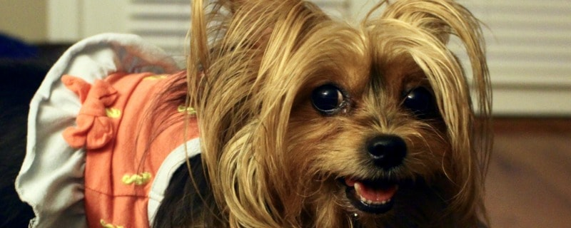 Yorkshire Terrier Popular Haircuts