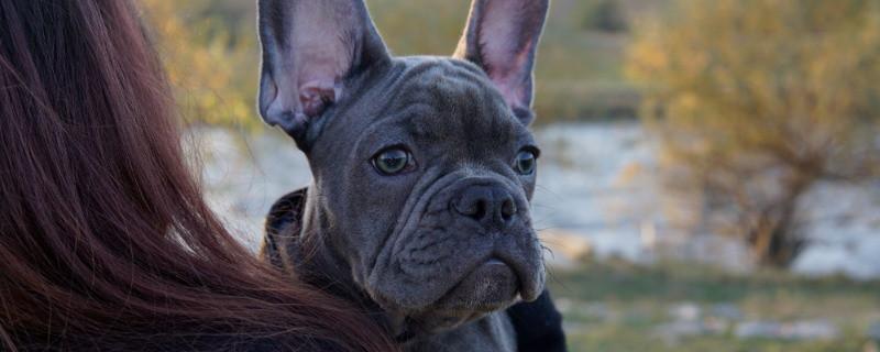 French Bulldog Blue Dog Breed