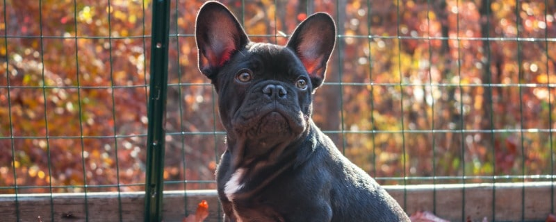 Blue Bull Dogs Frenchie Puppy Care