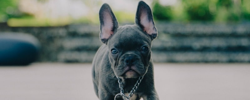 Blue Frenchies Breed Information