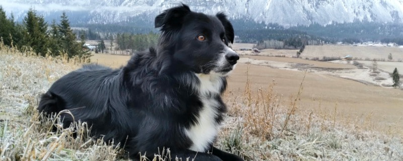 Mixed Dog Breed Between Collie and Chihuahua