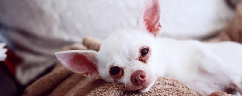 Some Chihuahuas Shake if Feeling Anxious