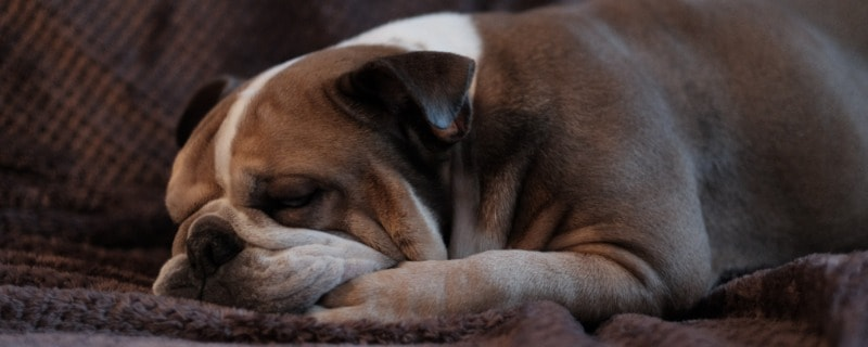 Why Is My Dog's Breath Fast While Sleeping