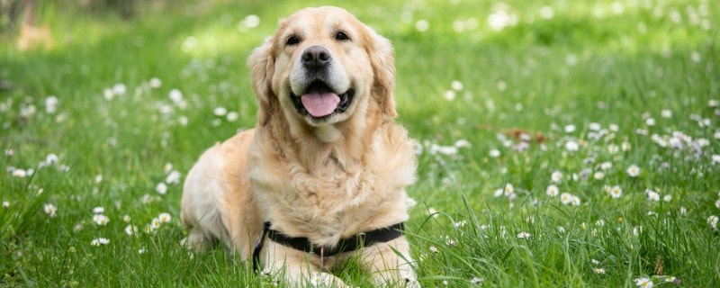 Health Benefits of Sauerkraut for Dogs