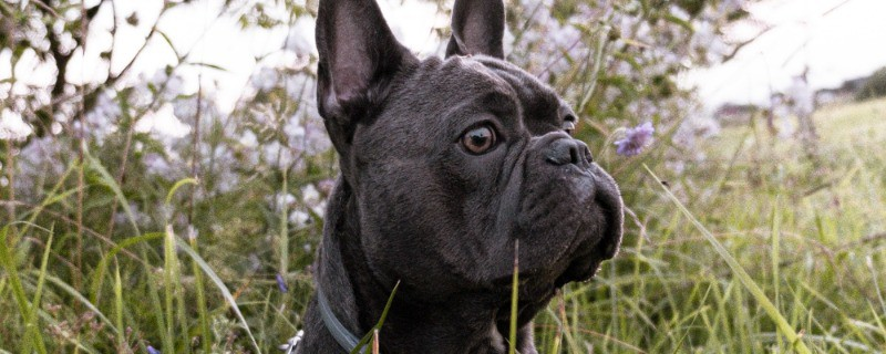 Blue French Bulldogs Health Issues