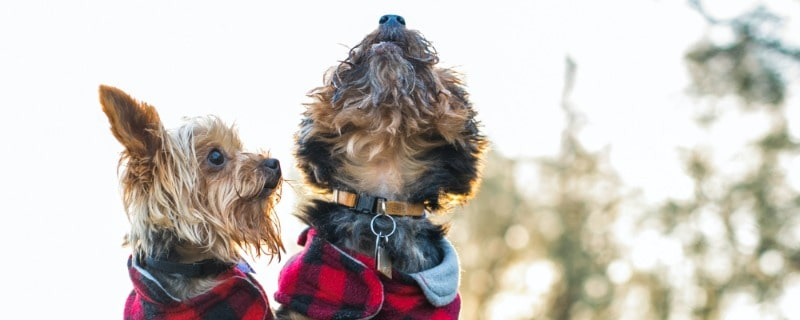 What You Need to Know About Dogs Howling