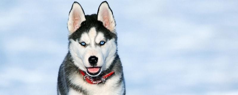 Husky Health and Common Illnesses