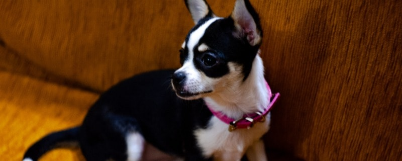 Collie Chihuahua Mix Breed Information