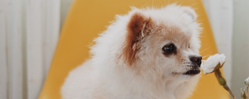 Can an Person with Allergies have a Pomeranian