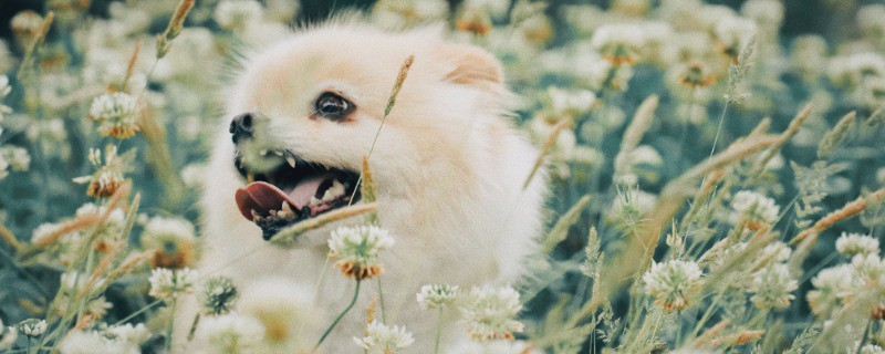 What Dog Breeds are Hypoallergenic