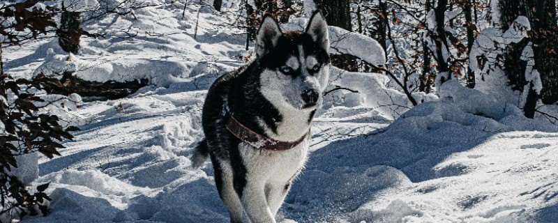 What You Need to Know About Siberian Husky