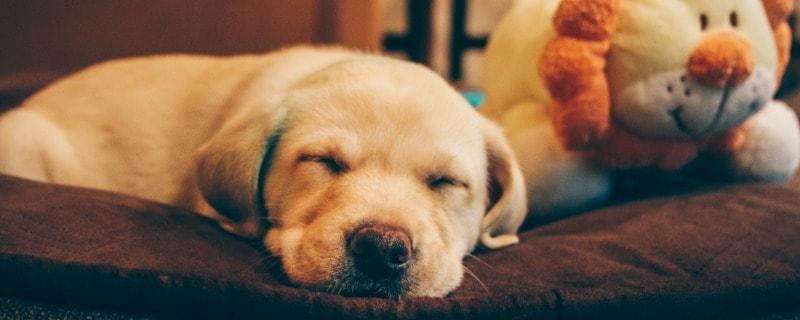 Dog Taking Fast Breaths While Sleeping