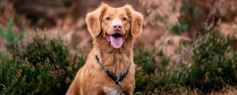 Sauerkraut Dog Diet is Good for Dogs