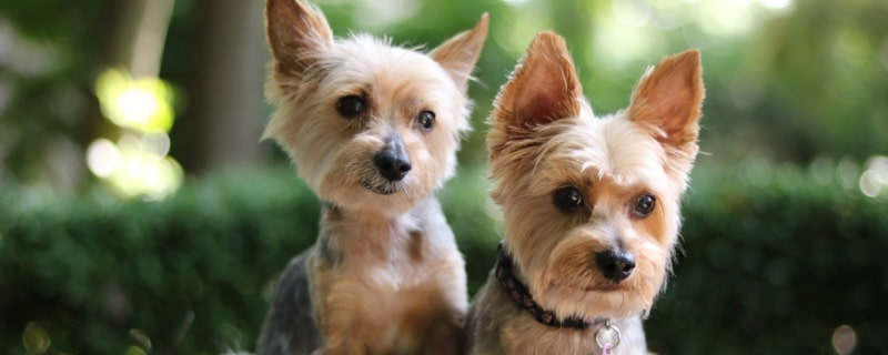 Yorkie Life Expectancy for Male and Females