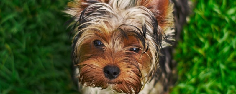 Yorkshire Terrier Pup Care Tips