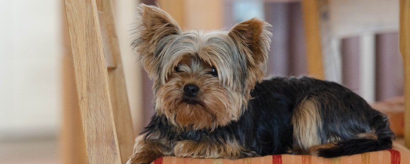 Dog Foods for Yorkie Pup Balanced Diet