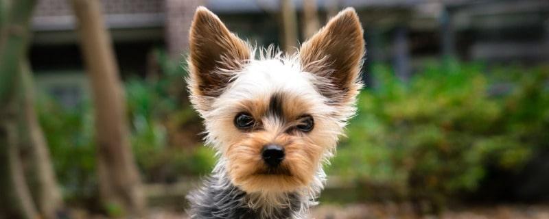 How to Treat a Puppy Yorkie